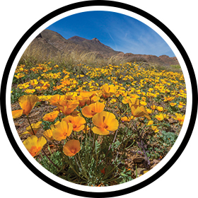 Poppies bloom on the Castner Range in El Paso